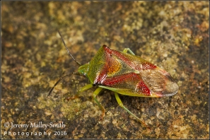 Elasmostethus interstinctus Birch Shieldbug