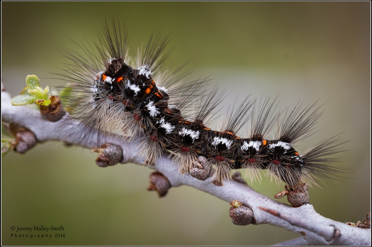 Yellow Tailed Moth Caterpillar