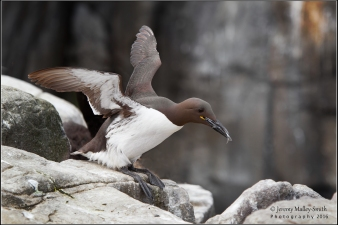 It was moving along the cliff edge to get to it's mate and young on the nest