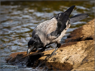 On a rock in the R. Aros, the hooded crow had been picking scraps but eventually wanted a drink...