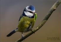 Male Blue Tit flying between 4 trees with the caterpillar whilst looking for a mate to feed.
