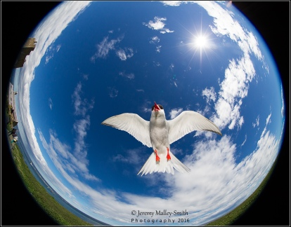 Shot with the EF8-15mm fisheye zoom (at 8mm) on the Canon 1Dmk4 effectively making it 10.4mm. The tern was light with fill-in flash