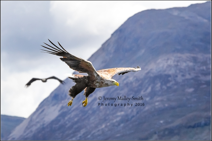 It's not often you see two white tailed eagles but it's also rare to capture them in the same frame