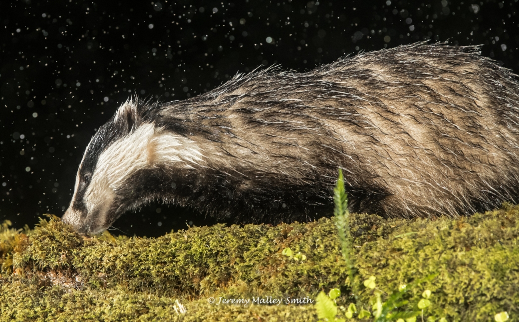 Badger with Midges