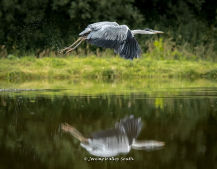 Heron Flying Gracefully