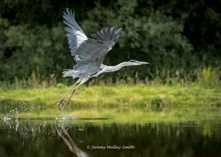 Heron Leaving The Loch
