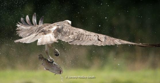 Osprey flying away