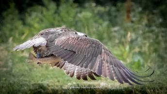 Osprey with head down