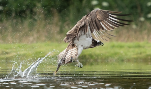 Osprey splashing with trout