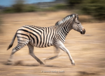 Zebra Crossing!