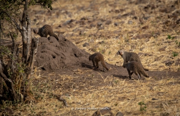 Family of Mongooses
