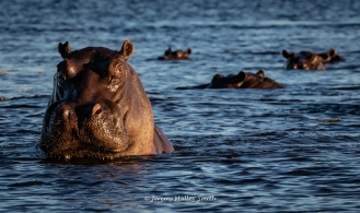 Hippos in the Chobe River
