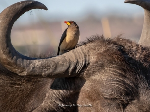 Oxpecker and Cape Buffalo
