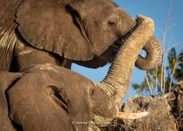 Elephants Bonding